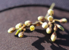 Blackthorn Buds Royalty Free Stock Photo
