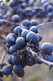 Blackthorn Stock Photography