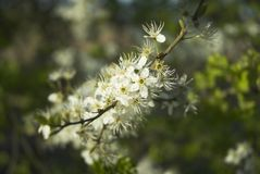 Blackthorn Flower Royalty Free Stock Images