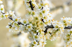 Blackthorn in flower. Blackthorn & x28;Prunus spinose& x29; branch in flower shot in early spring Stock Photography