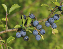 Blackthorn Fruit Royalty Free Stock Images