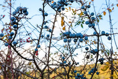 Blackthorn fruit Stock Photography