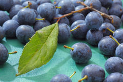 Blackthorn fruits Stock Photos