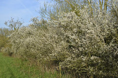 Blackthorn. Hedge in flower - Prunus spinosa Royalty Free Stock Photo