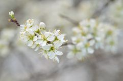 Blackthorn (Prunus spinosa) blossom. Branch with white flowers. Blurred background royalty free stock photography