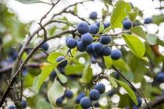 Blackthorn prunus spinosa. Close-up blue berries of blackthorn prunus spinosa Royalty Free Stock Image