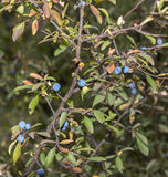 Blackthorn, Prunus spinosa. Foliage and fruits of Blackthorn, Prunus spinosa. Photo taken in Guadalajara Province, Spain royalty free stock photography