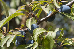Blackthorn, Prunus spinosa Stock Photography