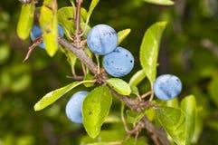 Blackthorn, Prunus spinosus Stock Images