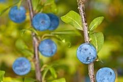 Blackthorn, Prunus spinosus Royalty Free Stock Photo