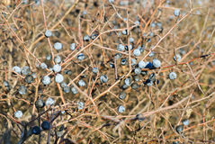 Blackthorn, Prunus spinosus Stock Images