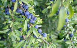 Blackthorn shrub. With ripe fruits Royalty Free Stock Photo