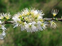 Blackthorn shrub flowers Stock Photo