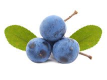 Blackthorn or sloe berries. Prunus spinosa Royalty Free Stock Images