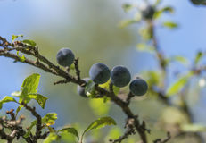 Blackthorn - Sloe, spinosa Prunus Στοκ Εικόνες