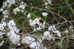 Blackthorn in Spring stock images