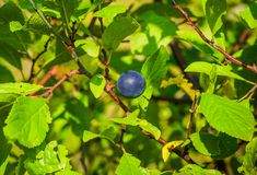 Blackthorn Royalty Free Stock Photography