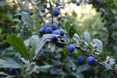 Blackthorn tree with sloes Royalty Free Stock Image