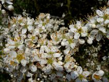 Blackthorn. White blackthorn blossoms in spring Royalty Free Stock Images