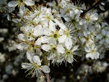 Blackthorn. White blackthorn blossoms in spring Stock Images