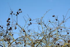 Blackthorn in winter Royalty Free Stock Photography