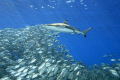 Blacktip与鱼的礁石鲨鱼 图库摄影