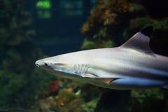 Blacktip游泳在珊瑚礁的热带水域中的礁石鲨鱼 免版税库存图片