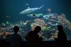blacktip真鲨属melanopterus礁石鲨鱼 免版税图库摄影