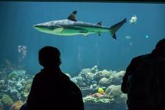 blacktip真鲨属melanopterus礁石鲨鱼 库存照片
