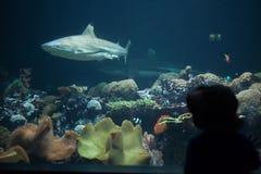 blacktip真鲨属melanopterus礁石鲨鱼 库存图片