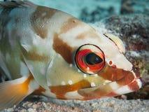 blacktip石斑鱼的画象 图库摄影