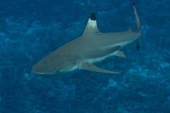 Blacktip礁石鲨鱼在博拉博拉岛,法属玻里尼西亚 免版税库存照片