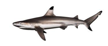 Blacktip礁石鲨鱼的侧视图,真鲨属melanopterus 库存图片