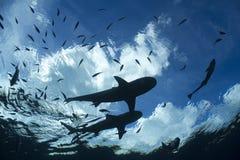 Blacktip礁石鲨鱼 图库摄影
