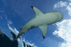 Blacktip礁石鲨鱼 免版税库存图片