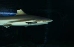 blacktip καρχαρίας σκοπέλων στοκ φωτογραφία με δικαίωμα ελεύθερης χρήσης