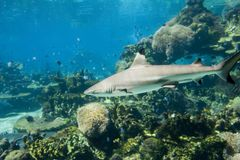 Blacktip. Reef Shark swiiming over reef Stock Photography