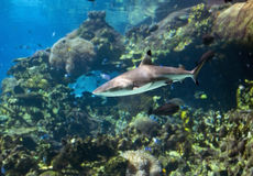 Blacktip. Reef Shark (Carcharhinus melanopterus Royalty Free Stock Images