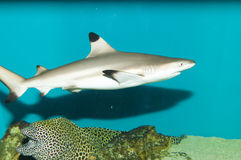 Blacktip在水族馆的礁石鲨鱼 库存图片