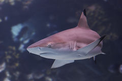 Blacktip. Reef shark Stock Image