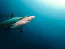 Blacktip in the big blue. A Blacktip Shark (Carcharhinus limbatus) in the Indian Ocean off the east coast of South Africa Stock Images