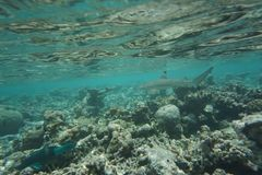 blacktip carcharhinus melanopterus rafy rekin zdjęcia stock