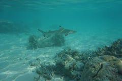 blacktip carcharhinus melanopterus rafy rekin Obraz Stock