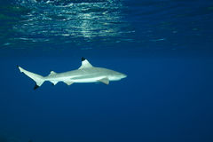 blacktip carcharhinus melanopterus rafy rekin Obrazy Stock