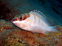 Blacktip Grouper Stock Image