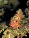 Blacktip grouper Royalty Free Stock Image