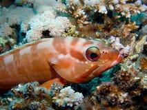 blacktip grouper Fotografia Stock