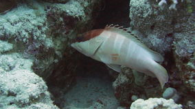 Blacktip grouper among the corals in the Red Sea stock footage