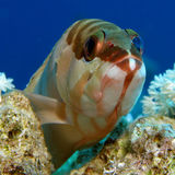 Blacktip Grouper - Epinephelus fasciatus. Portrait Stock Images