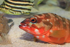 Blacktip grouper Stock Photography